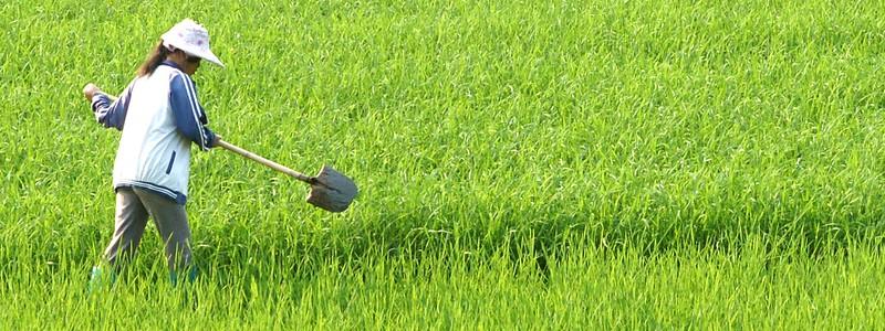 rice field - japan