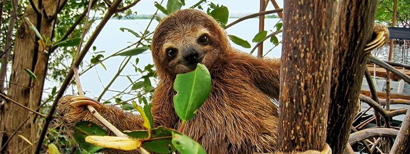 Smiling baby Brown-throated Three-toed sloth in the mangrove, Caribbean,  Costa Rica