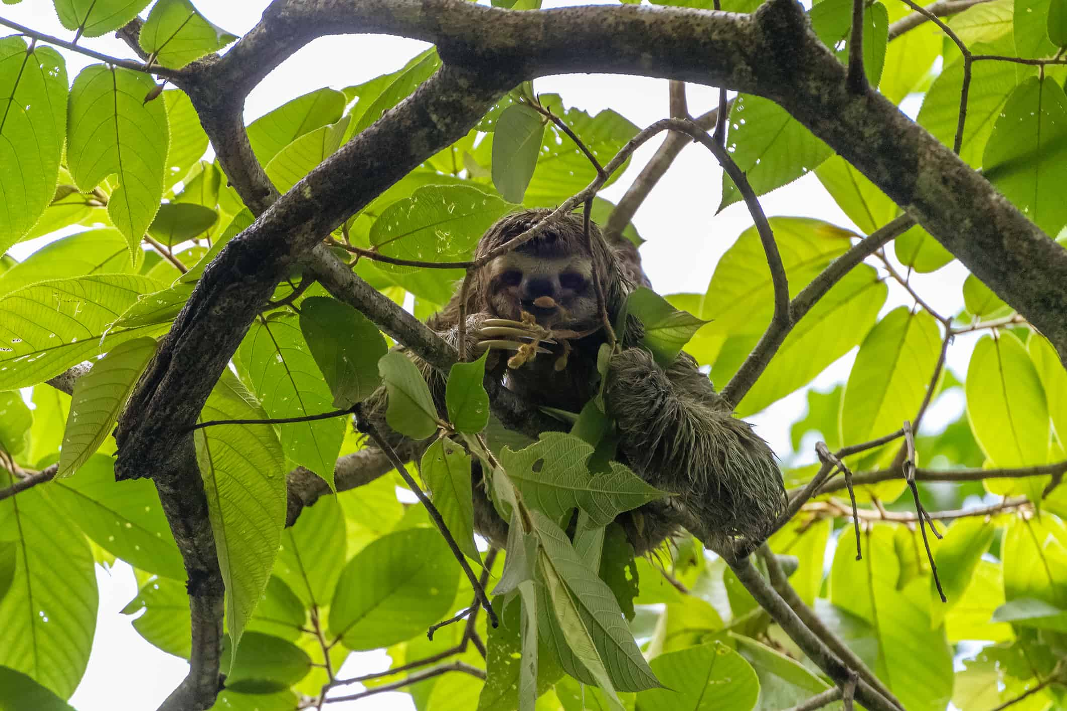 Three-toed Sloth (Bradypus infuscatus), taken in Costa Rica
