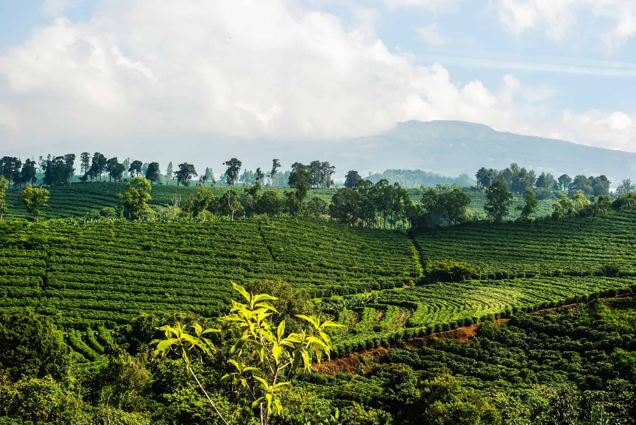 Photogrpah of a Costa Rican coffee plantation located high in the mountains.  Example of intensive agricultural practice.