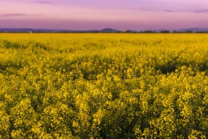 Beautiful purple sunset light in a spring evening over colorful bright yellow rapeseed (Brassica napus) crops. Yellow flowers nice background